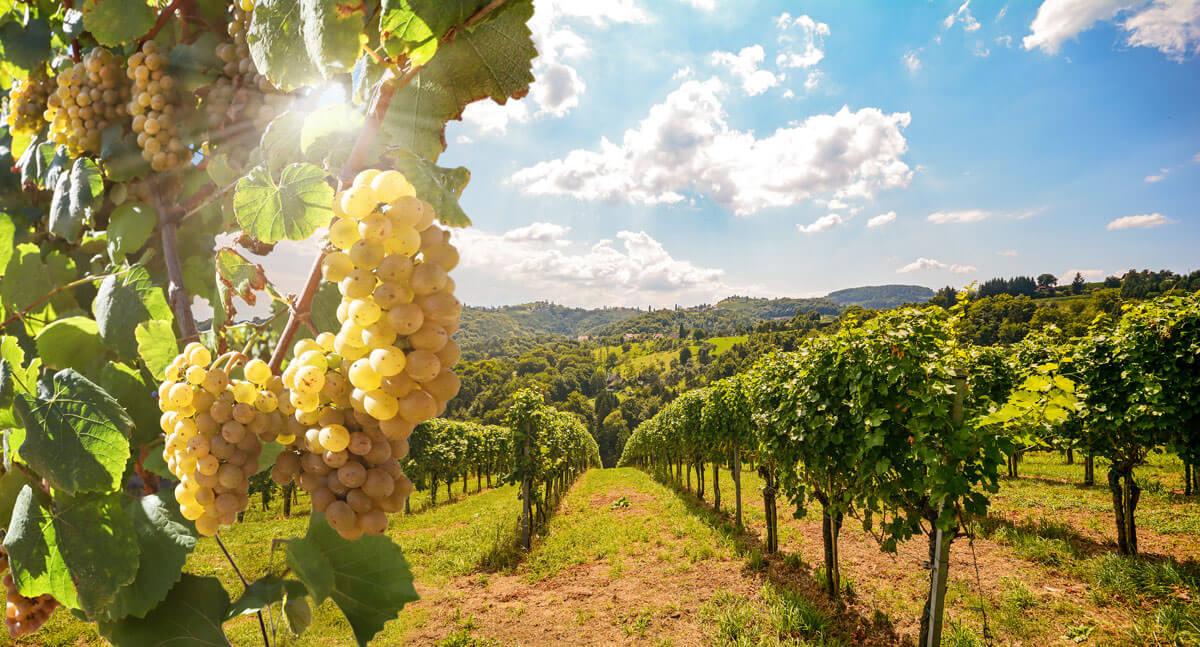 Prva nacionalna onlajn baza podataka za vino i grožđe